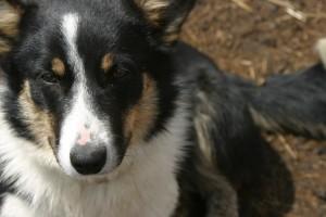 MJ, Kelsey's Corgi/Border Collie, aka The best dog on the whole place...