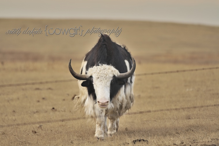 Yak Photo, black and white Yak, South Dakota Cowgirl Photography