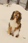english shepherd photo, south dakota cowgirl photography, south dakota photography, south dakota photographers, dog photography