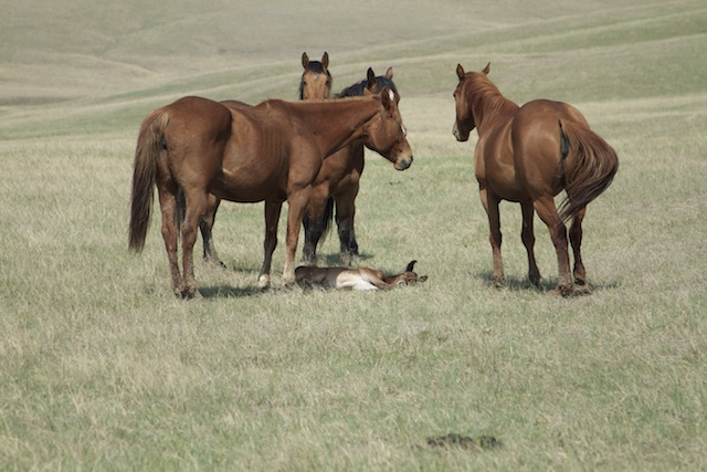 south dakota cowgirl photography, the south dakota cowgirl, south dakota ranches, south dakota horses, horses, foals, foal photos