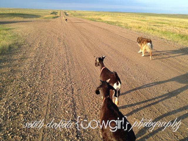 south dakota cowgirl, running buddies, goat kids