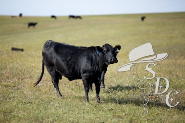 south dakota cattle, south dakota cowgirl photography, ranching in south dakota, ranch life, cattle in south dakota, the south dakota prairie