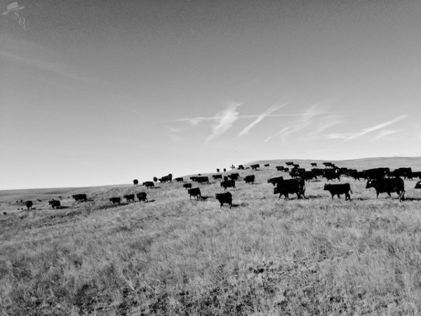 ranching, early mornings, ranch life, this is ranching, black and white photography, rustic photography, western lifestyle, ranch life, black and white ranchlife, black and white ranching photography, south dakota cowgirl photography
