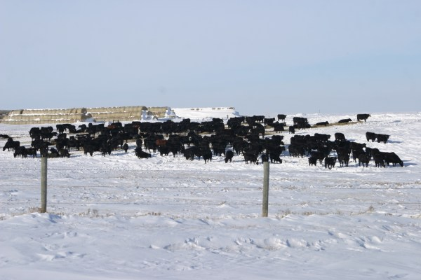 Cattle During a nasty SD winter, photographed shortly after a blizzard.