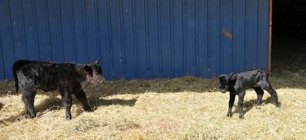 gwen shepperson, ranching, ranch life, calves