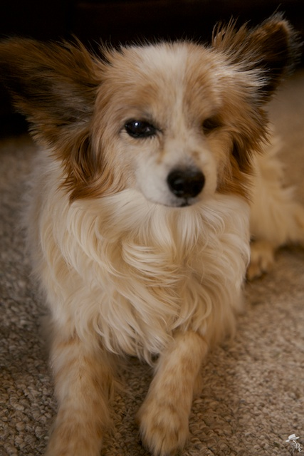 south dakota cowgirl photography, papillon, papillon dog, my dog, dogs in south dakota