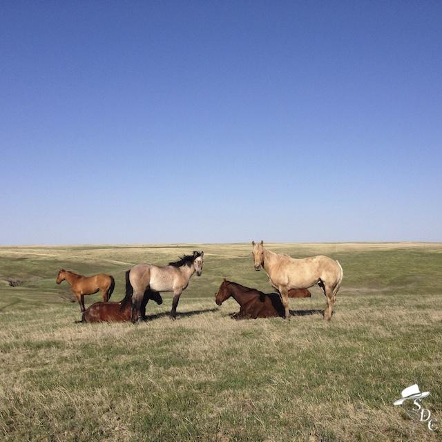 horses, south dakota, sleeping horses, horses laying down, south dakota cowgirl photography, south dakota photographers