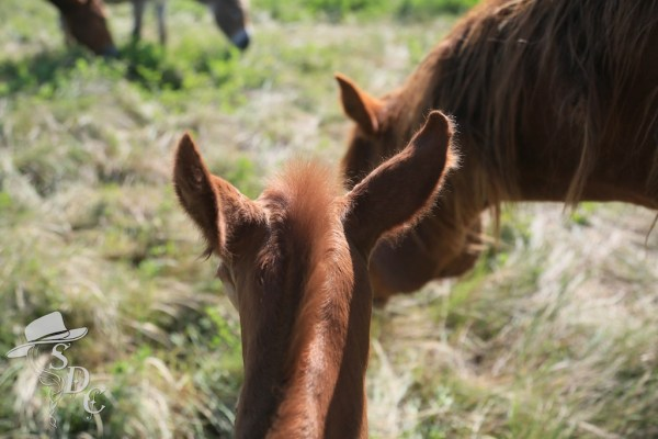 south dakota cowgirl photography, equine photography, equine photos, foal photos, pictures of baby horses