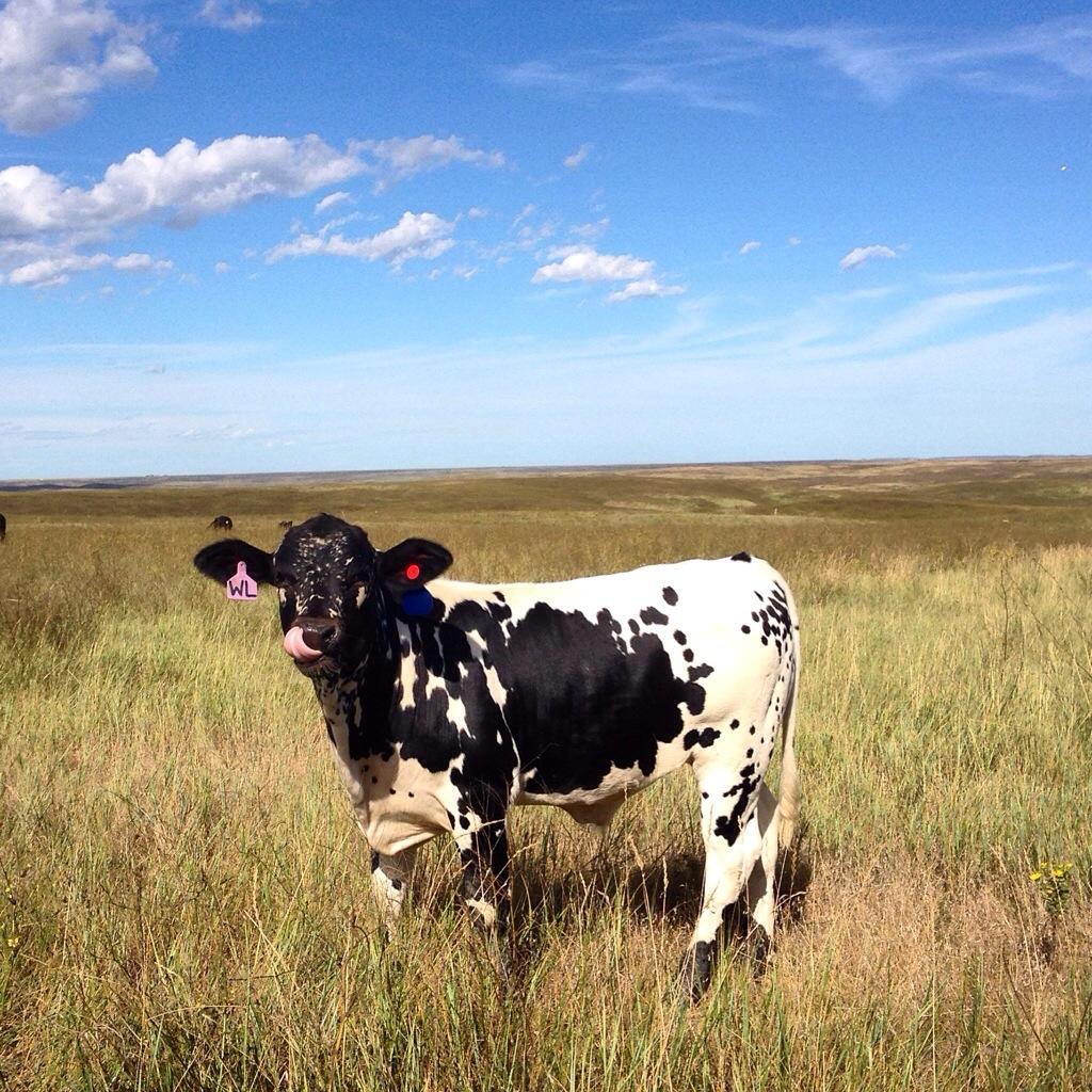 longhorn calf, the dx ranch, south dakota, south dakota cowgirl photography