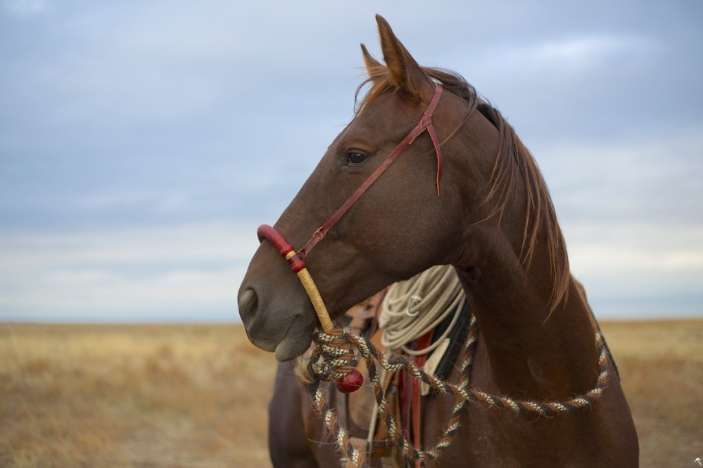 south dakota cowgirl photography, hackamore horse, vaquero style gear