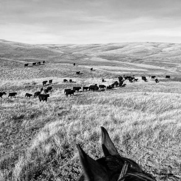 south dakota cowgirl photography, the south dakota cowgirl, cows rule, cows are awesome, black and white photography