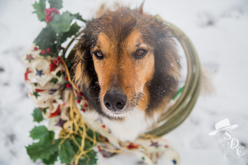 south dakota cowgirl photography, winter photography, snow photography, english shepherds, christmas photography
