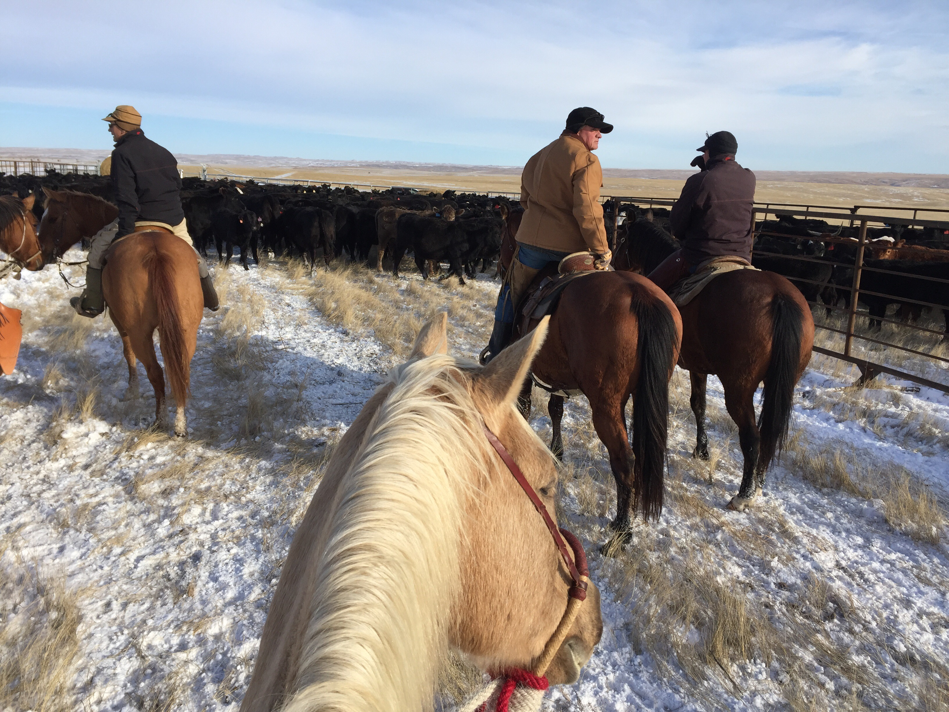 the south dakota cowgirl, ranch life ,ranching, cow work, cowboys, cowboys in the winter, life between the ears