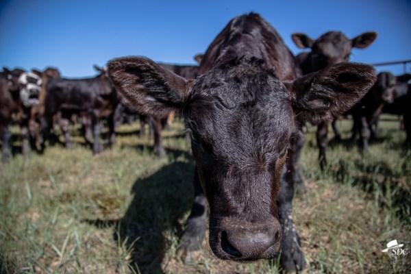 Black angus calf, photo by the South Dakota Cowgirl.