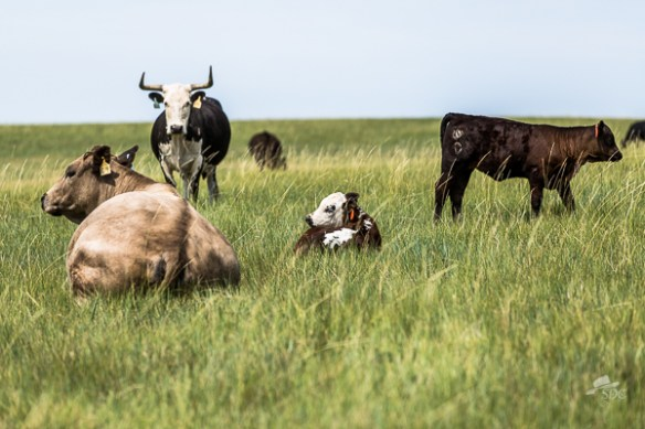 baby animals, ten things to love about ranch life, the south dakota cowgirl, calves