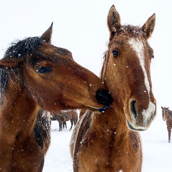 magical snow, life on the ranch, winter, the south dakota cowgirl, horses in snow