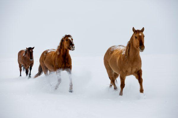 the south dakota cowgirl, south dakota cowgirl photography, horses in the snow, winter in south dakota, winter horses