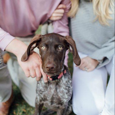 GSP German Shorthaired Puppy Alabama