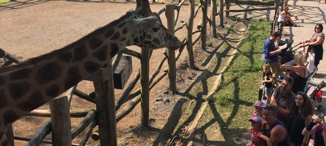 Pairi Daiza Giraffe