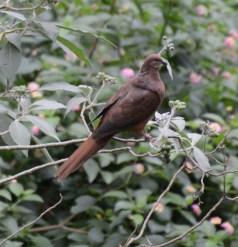 Pheasant coucal