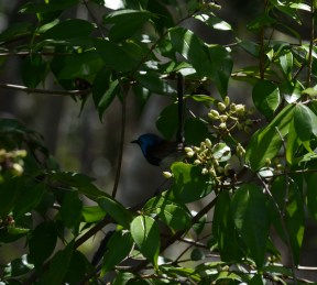 Superb fairy-wren (click on to get a better look)