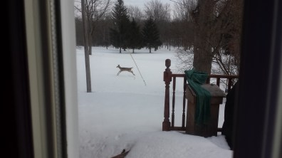 Deer in my back yard