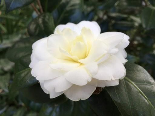 YellowCamellia(122515)