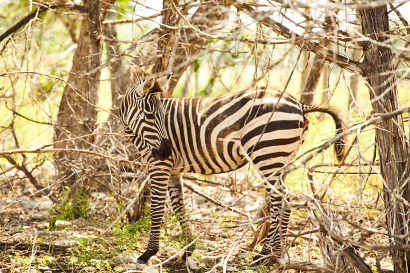 Zebrashy