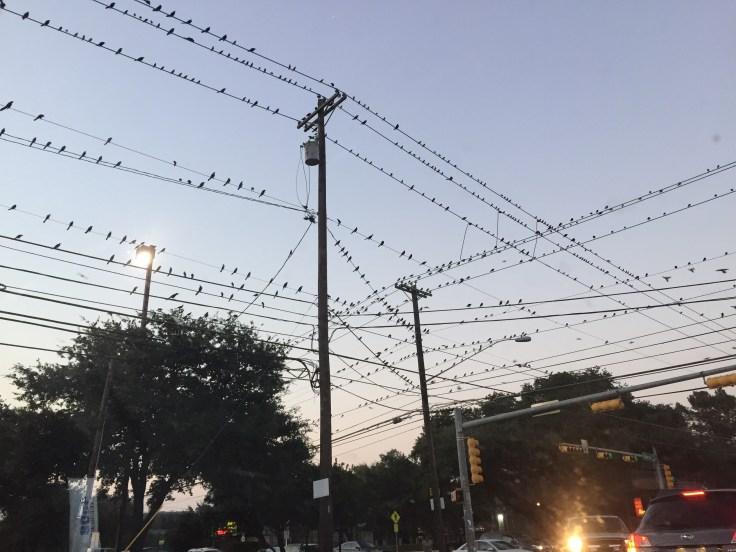 Austin birds