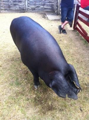 Pig, Piggery, A&P, Masterton
