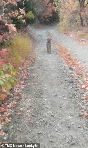 Kyle Burgess, 26, was heading back from a trail run at Slate Canyon near Provo at around 5pm when he spotted the cubs ahead of him. The mother appeared within seconds