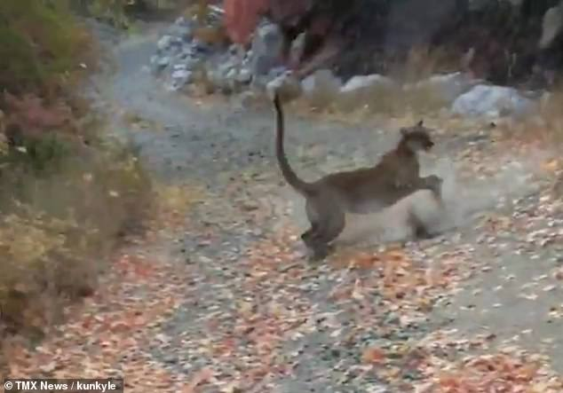 On several occasions, the cougar leaped forward to push Burgess back