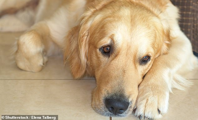 Queensland man Christopher Downing escaped conviction for attempting to poison two dogs (stock image)
