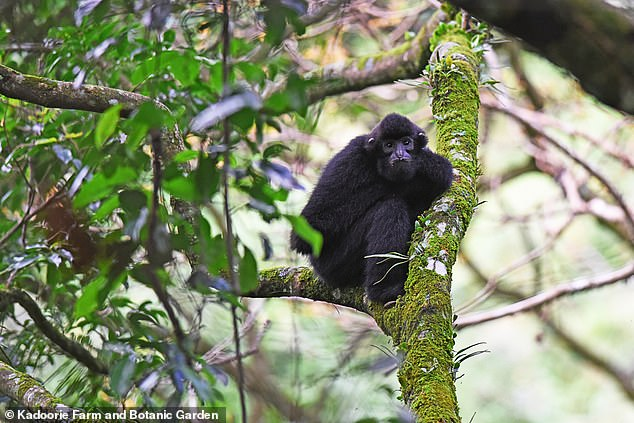 Experts who suspended ropes some 30 feet above ground across a damaged patch of forest 52 feet wide have filmed the gibbons, pictured, using the bridge for the first time