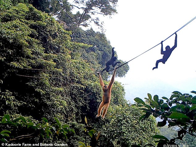Rope bridges could help save the world's rarest primate — the Hainan gibbon, Nomascus hainanus — by helping them cross gaps in their forest habitat, pictured