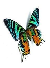 Madagascan Sunset Moth Dainty Necklace