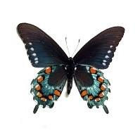 Pipevine Swallowtail Butterfly Silver Heart Necklace