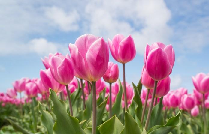 BlackRock ETF, Tulips