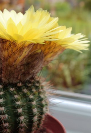 cacti with yellow flowers