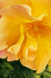 yellow and pink rose close-up