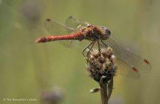 dragonfly-2
