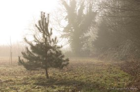 mist-view-to-pine-tree