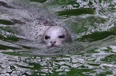 Switzerland - Zurich Zoo Swimming Seal 2015