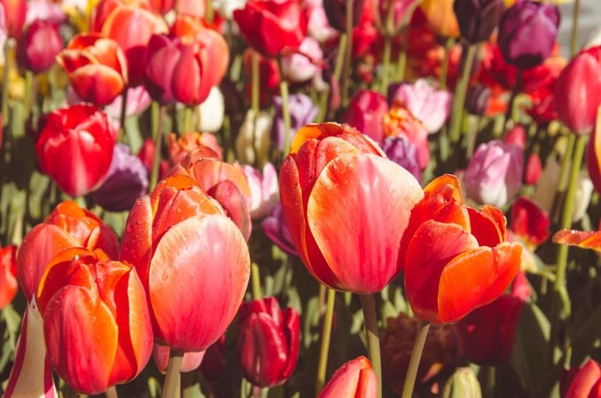 Fioritura dei tulipani in Olanda. Visit Keukenhof 01 - thestylelovers.com