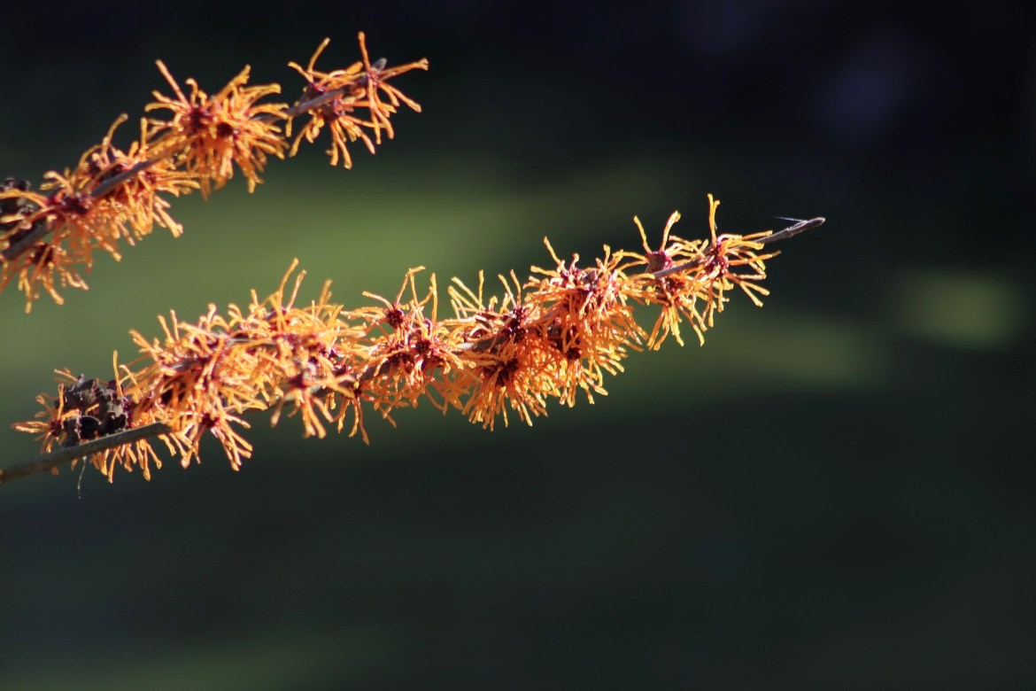 Natural Acne Remedies For Glowing Skin Witch Hazel