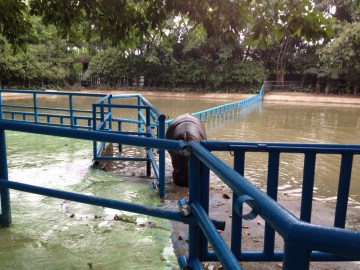 Hippos were hanging out by the water, this one obliged the feeding call.