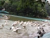 Pelicans galore...