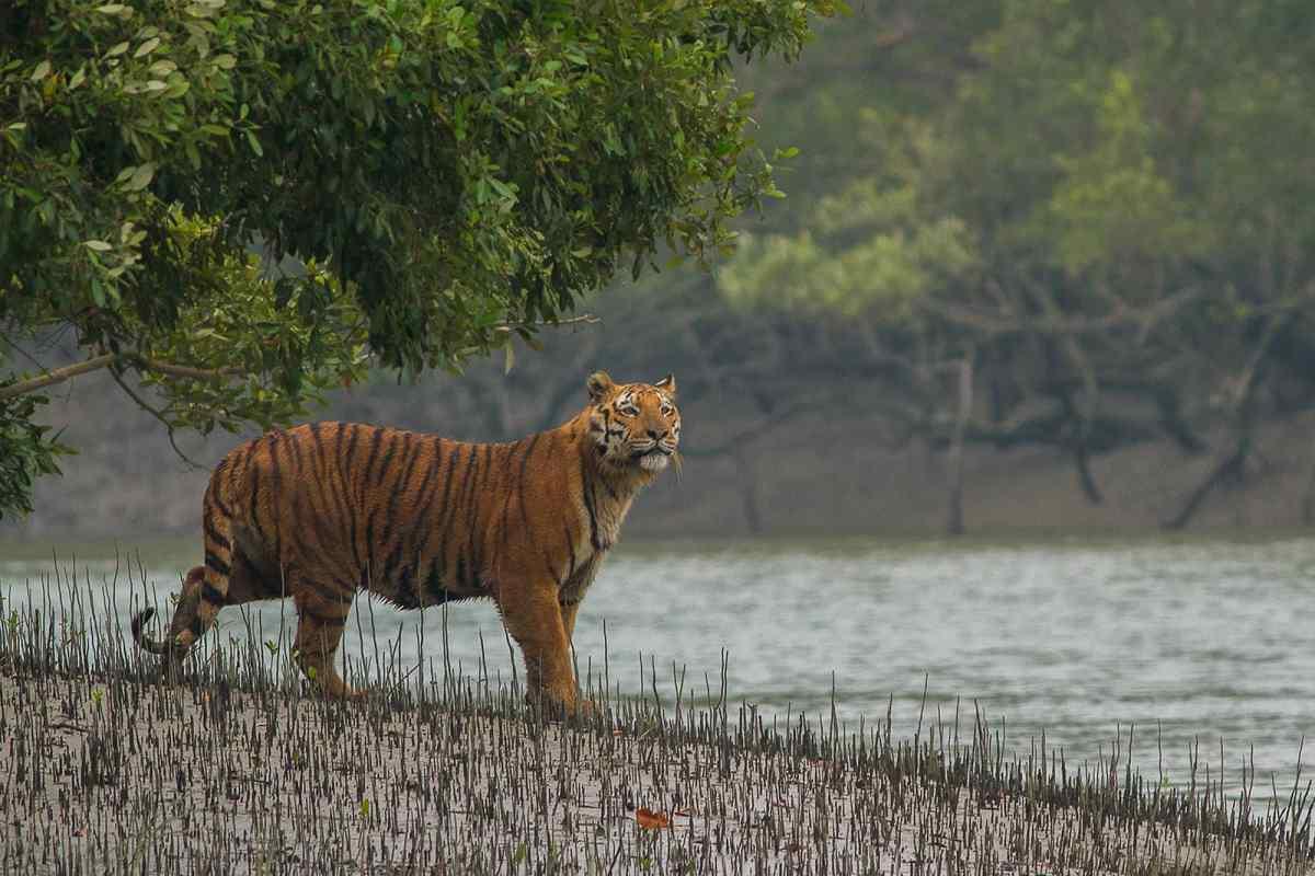 https://i1.wp.com/thesubmarine.it/wp-content/uploads/2018/07/Sundarban_Tiger.jpg?fit=1200%2C801&ssl=1