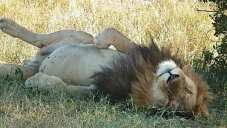 African lion lying around.