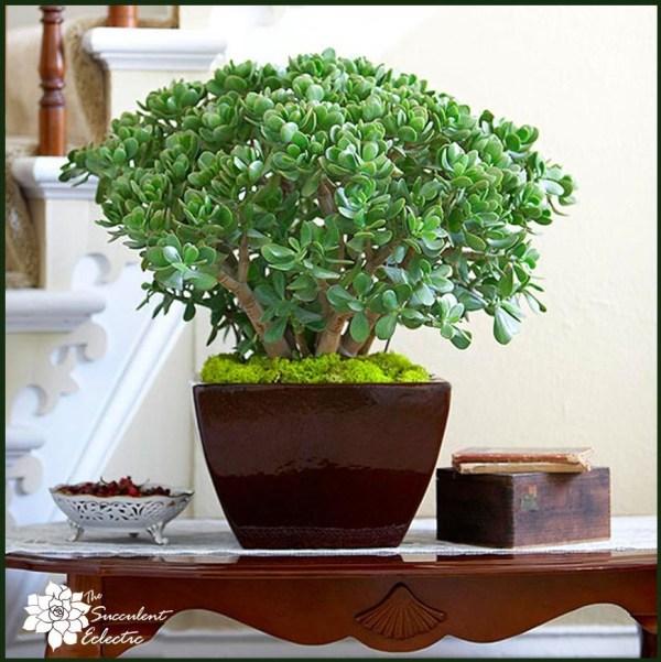 crassula ovata are elegant succulent houseplants
